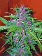 purpleweed.jpg